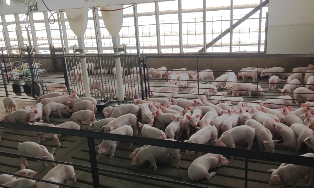 Haverkamp Bros, Inc. Pork Production Photo